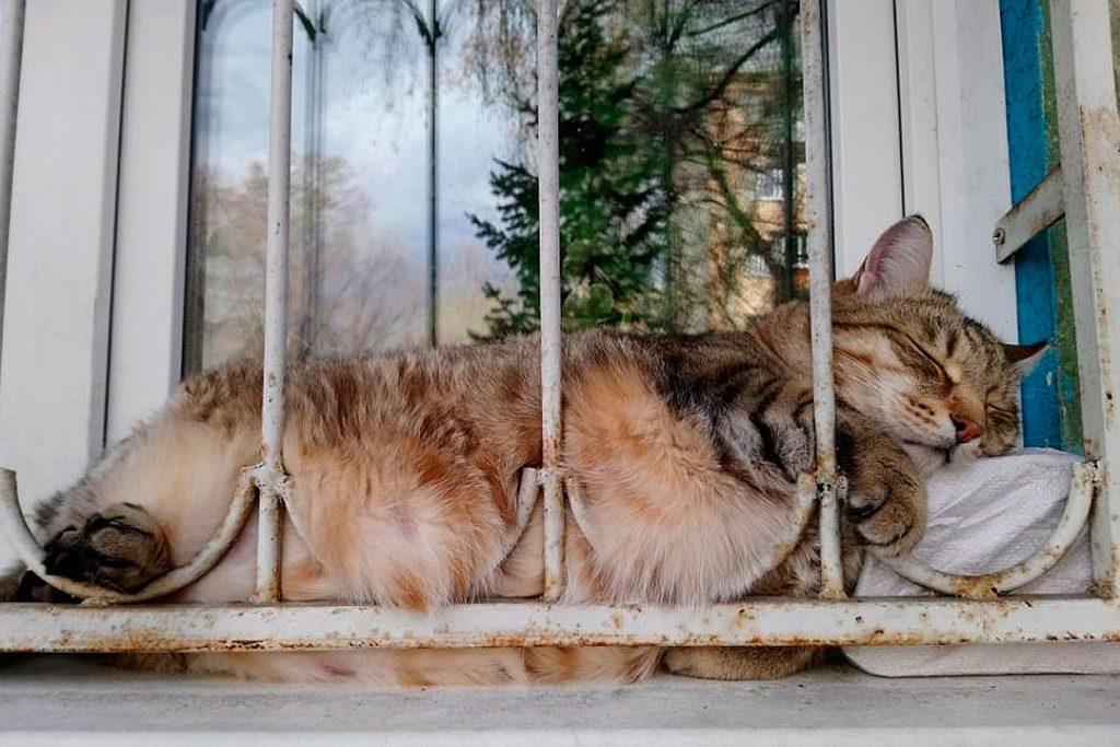 Очень толстый кот Степан покоряет интернет 2