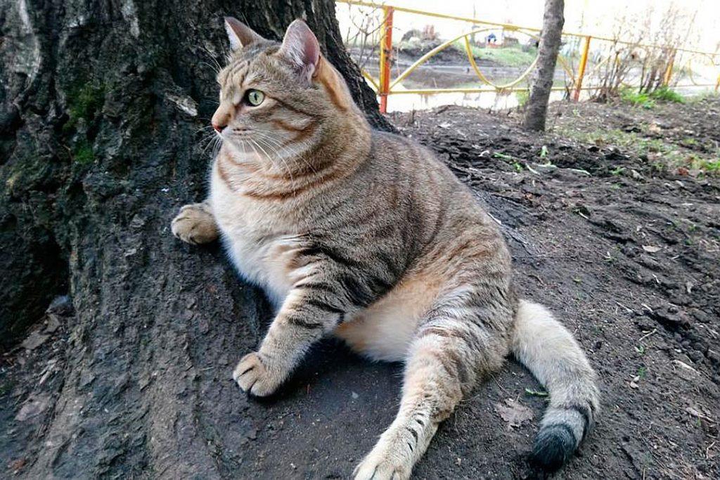 Очень толстый кот Степан покоряет интернет 1