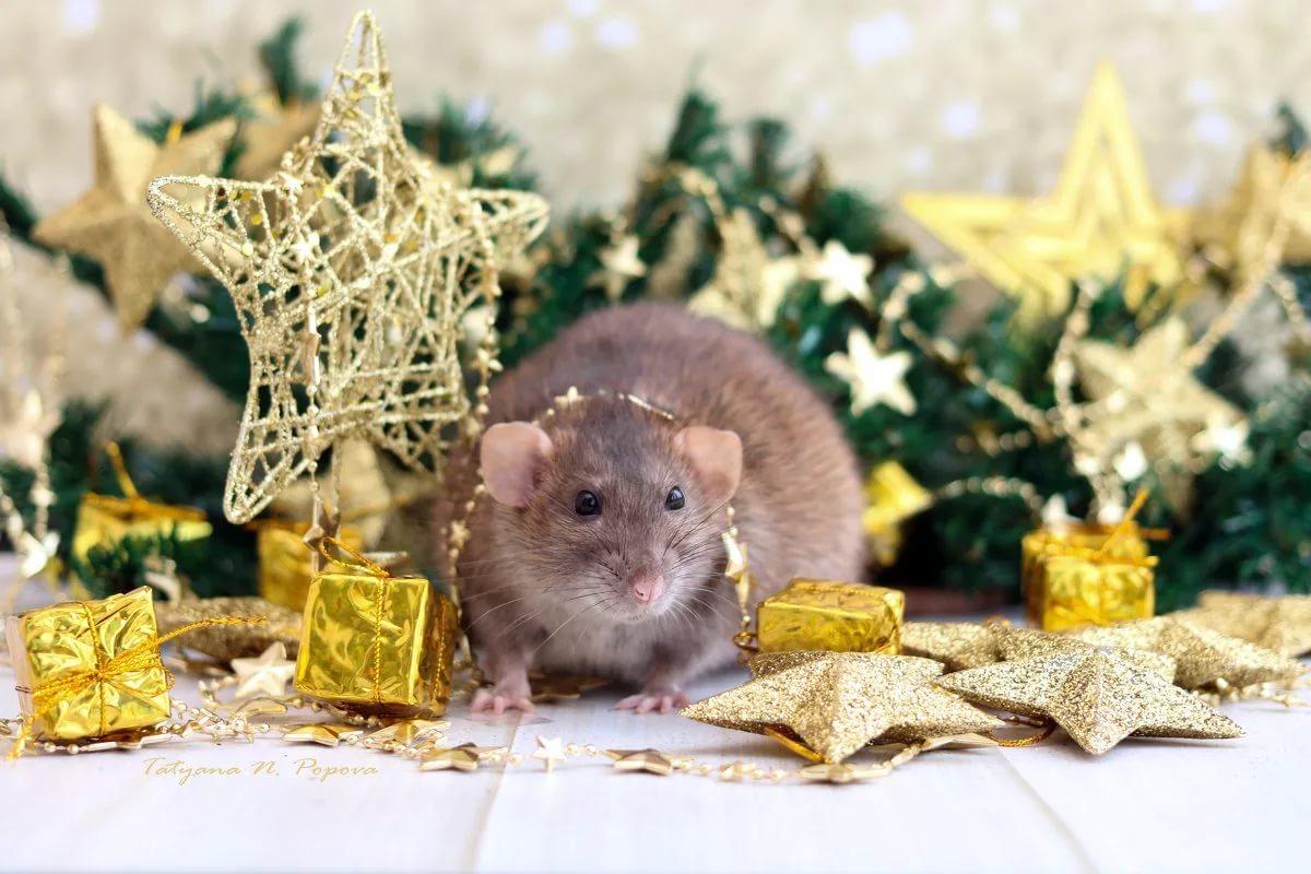Почему не стоит дарить крыс на Новый год? 6
