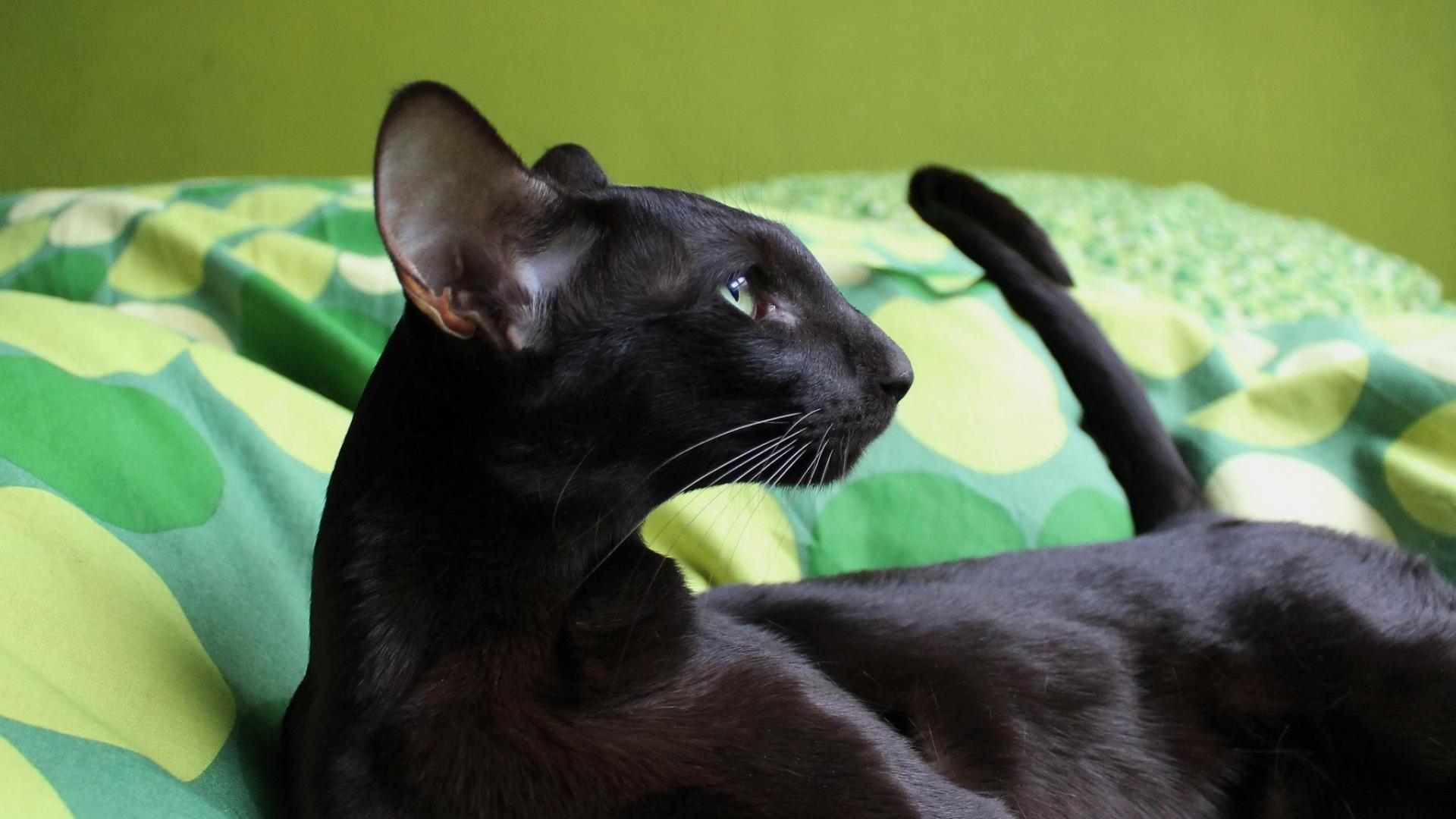 Каких кошек заводили россияне в этом году? 2