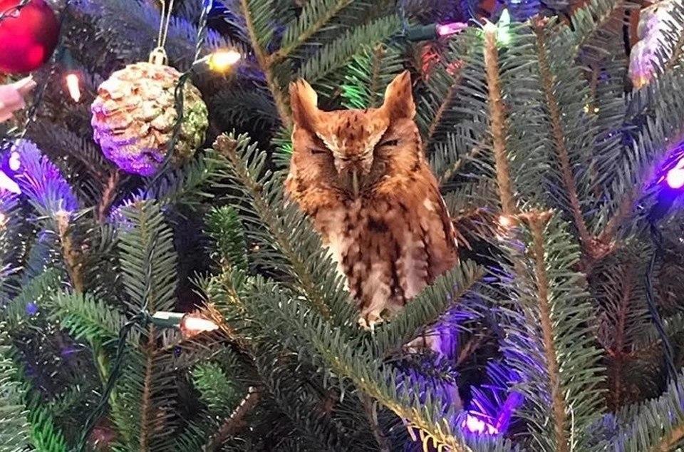 Семья нашла в своей рождественской ёлке сову 1