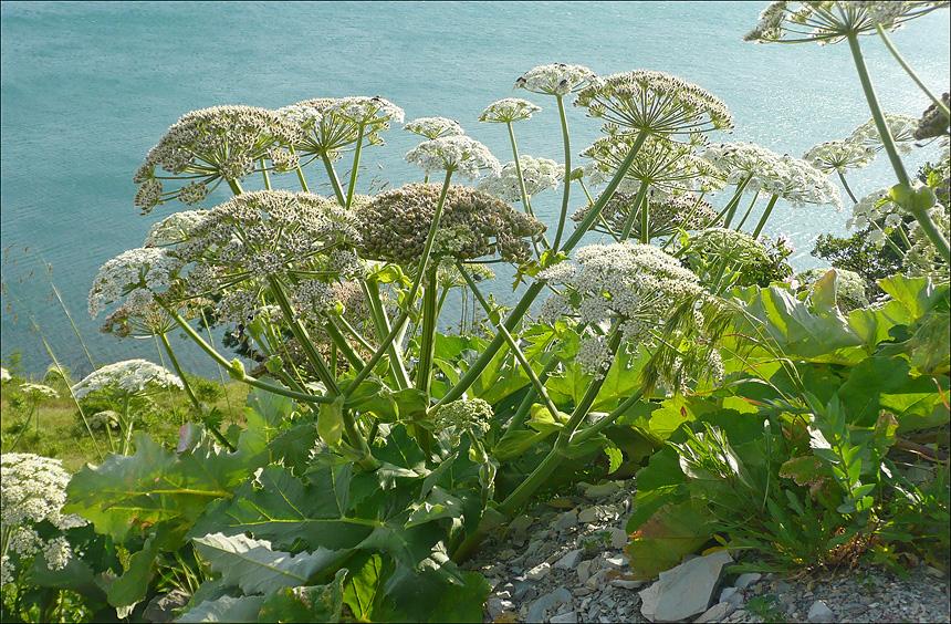 Опасная природа: что нужно знать о ядовитых растениях Крыма 3