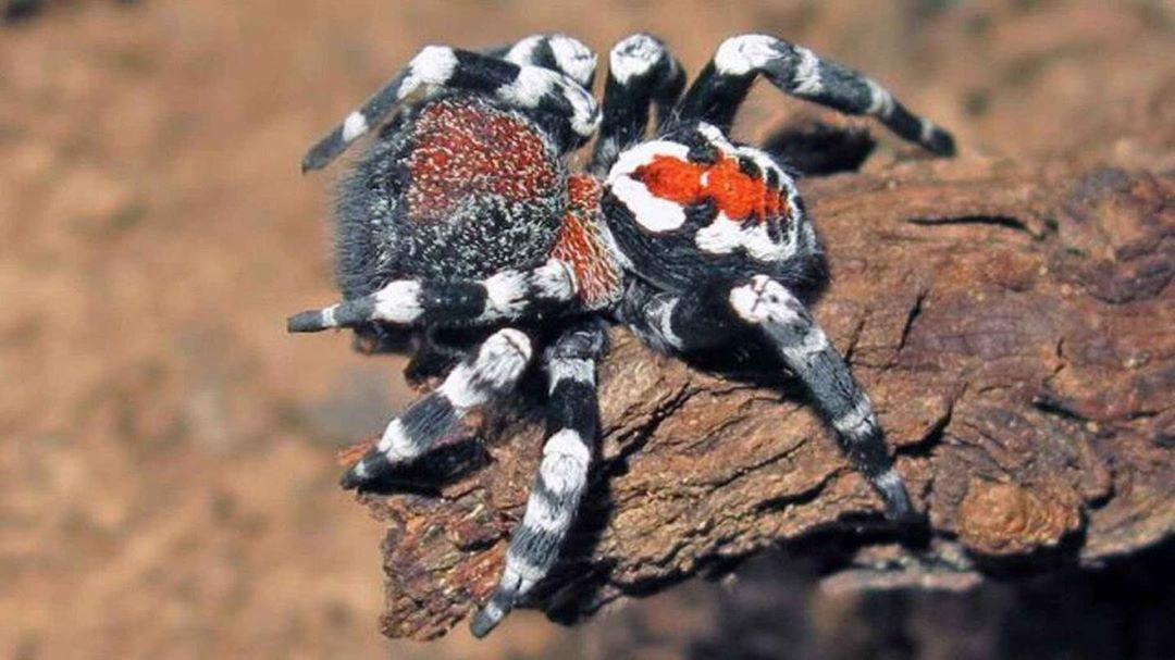 Новому виду пауков присвоили имя Хоакина Феникса 8