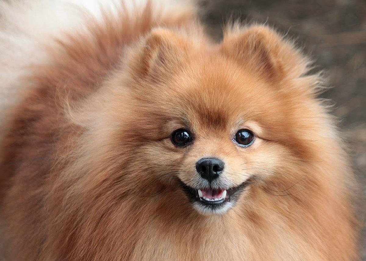 Топ-10 модных в России пород собак 8
