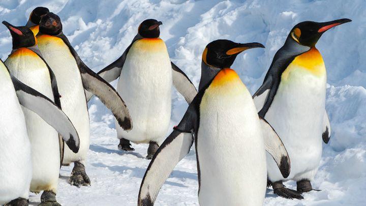 В мире могут исчезнуть пингвины 6